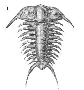 drawing of a trilobite