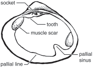 diagram of bivalve mollusk anatomy