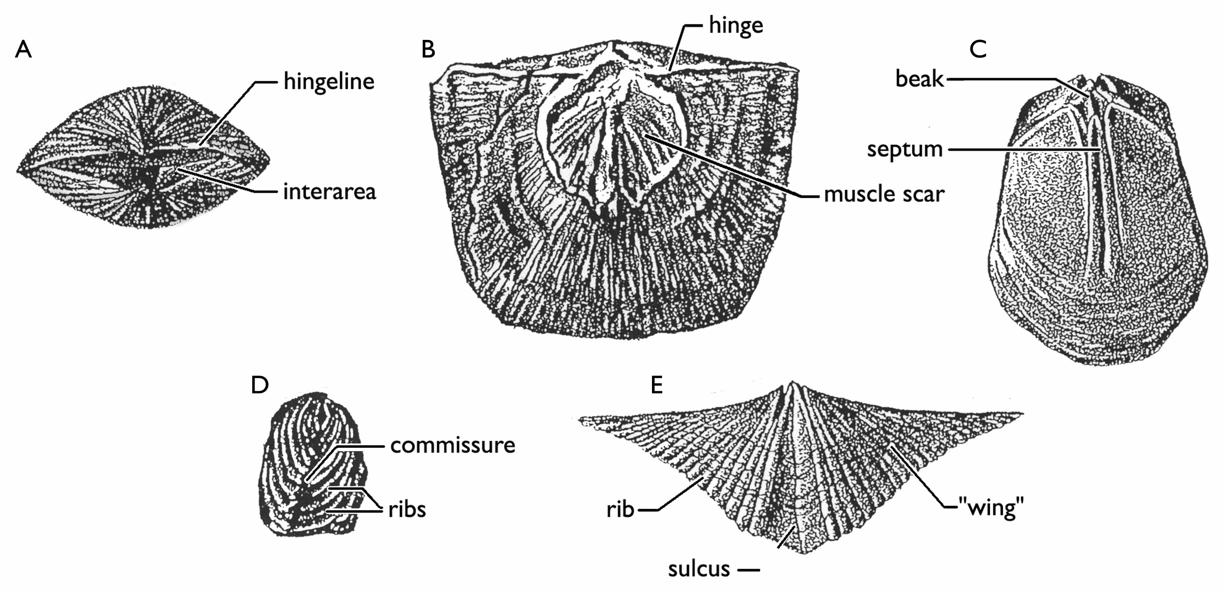 Wisconsin Geological & Natural History Survey » Brachiopods